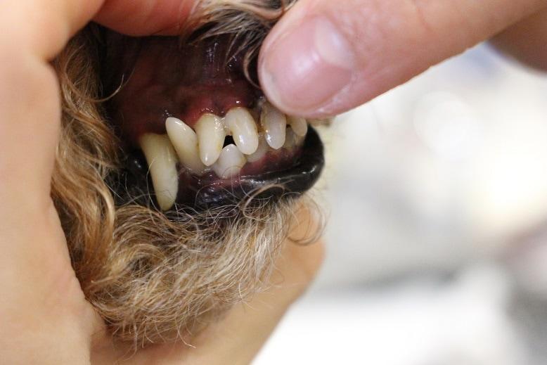 元の虫歯菌が活発になる(虫歯になる)➡糖質を発酵させて\u201d酸\u201d(歯を溶かして虫歯になる)をつくる。 犬は口の中で\u201d酸\u201dにならない。後ほとんど噛まずに飲み込みの食べ